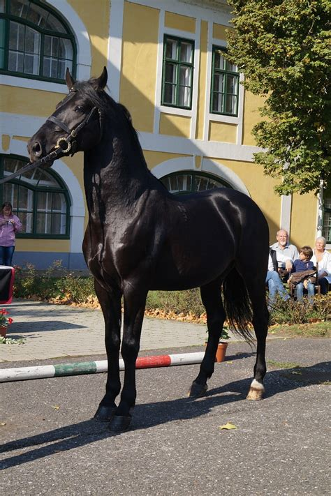 most horses horse rare nonius pretty breeds