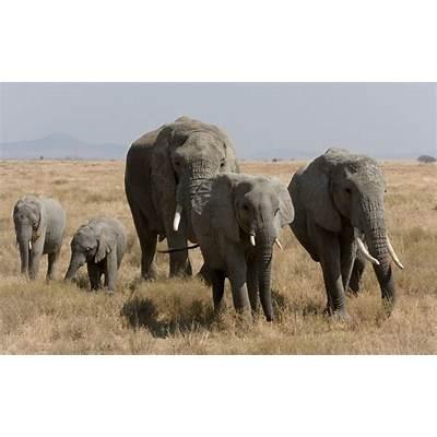 African Bush Elephant - Facts Lifespan Habitat Behavior