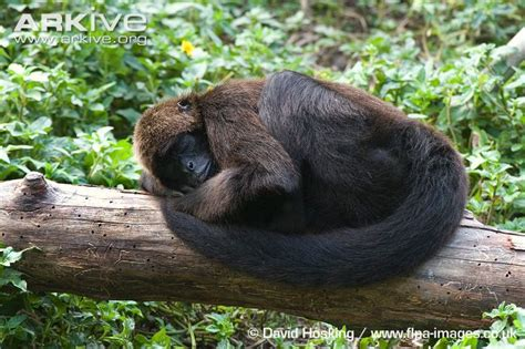 Brown-headed Spider Monkey Photo