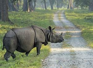 Facts About the Strong and Sadly Endangered Javan Rhinoceros