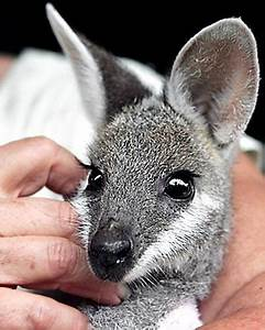 Wallaby | Cute animal pics | Pinterest