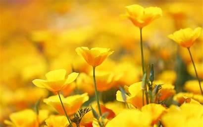 Yellow Flowers Wallpapers Iphone 4k Yodobi Title