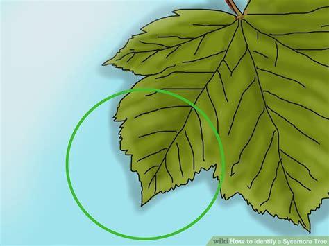 3 Ways To Identify A Sycamore Tree