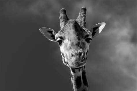 giraffe hd wallpapers