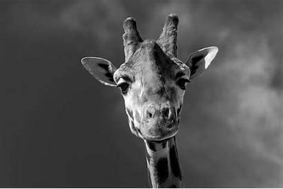 Giraffe Wallpapers Desktop Leopard Snow Wallpaperxyz Wallpaperspic
