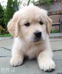 golden retriever baby puppies | puppies & such | Pinterest ...