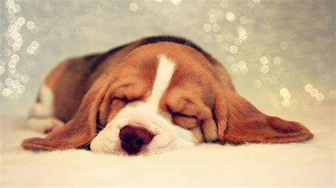 fotos welpe basset hound hund schlafen ein tier