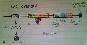 Biolozgy  Regulation Of Prokaryotic Gene Expression  The