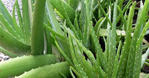 macam tanaman hias rumah populer kebun
