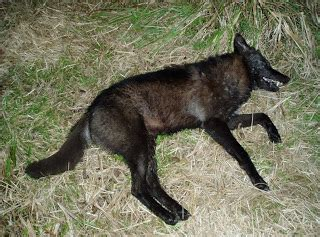 are coyotes color blind trophy coyote a target of opportunity