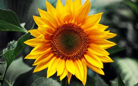 sunflower photography hd wallpaper background images