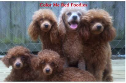 Toy Poodle Poodles Mississippi Breeders Puppies Breeder