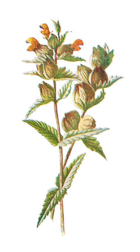 bloemen orakel antique image free digital flower clip wildflower