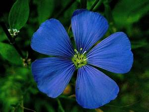 Flowers Colores: Dark blue flower