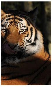 Big Cat Stare Tiger Wildlife Predator Animal Wallpaper ...