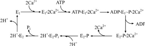 Enzymatic Cycle Diagram by Enzymatic Cycle Simplified Enzymatic Cycle Of Serca1 See