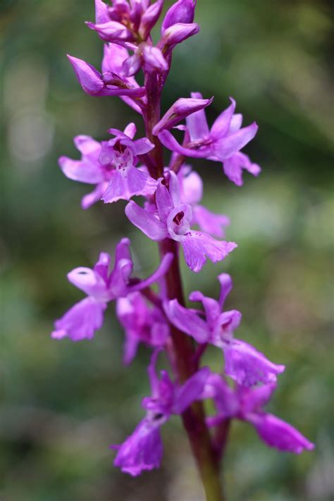 Orchis mascula ssp mascula | Orchids, Orchis