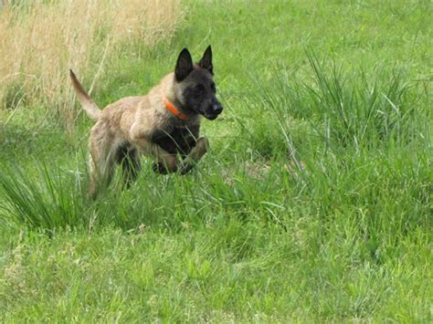 Belgian Malinois Vs German Shepherd Shedding by German Shepherd Cross Belgian Malinois Breeds Picture