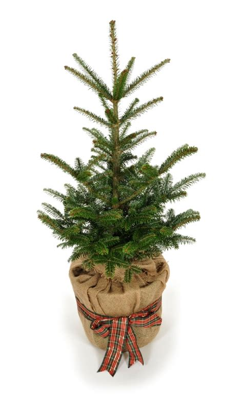 pot grown christmas trees for sale delivered london and uk