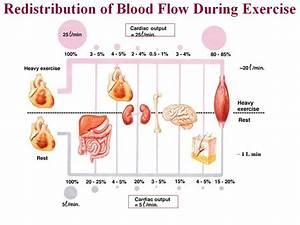 Human Cardiac And Respiratory Systems  May 2010