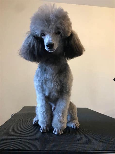 silver toy poodle  stud wallasey merseyside petshomes