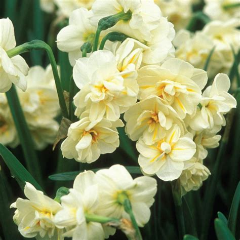 martha stewart living narcissus sir winston churchill