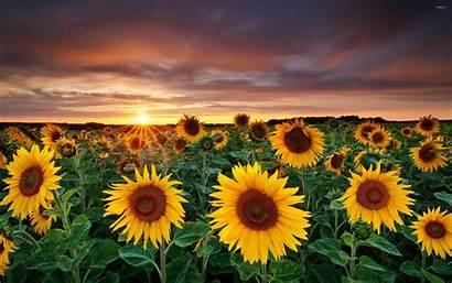 Sunflower Sun Setting Horizon Fields Wallpapers Matahari