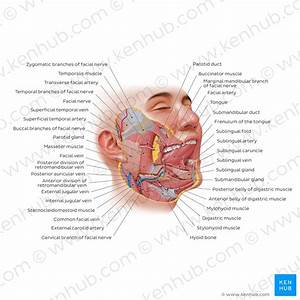 Parotid Gland  Anatomy  Innervation And Clinical Aspects