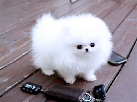teacup pomeranian mini boo puppies pure white  left