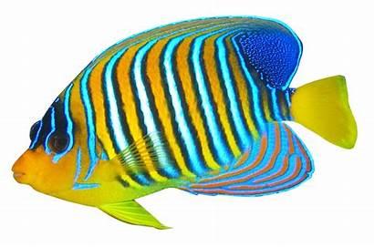 Transparent Angelfish Fish Animals Animal Bicolour Pngpix