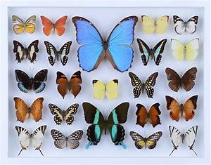 REAL BUTTERFLY COLLECTION - ALL NATURAL BUTTERFLIES