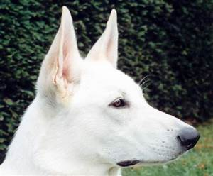 Black White Sheep Dog