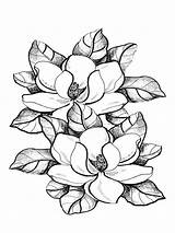Magnolia Coloring Pages Flower Drawing Flowers Colouring Printable Colors Sheets Recommended Getdrawings Cooloring Club sketch template