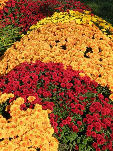 fall mums fall mums all about autumn pinterest
