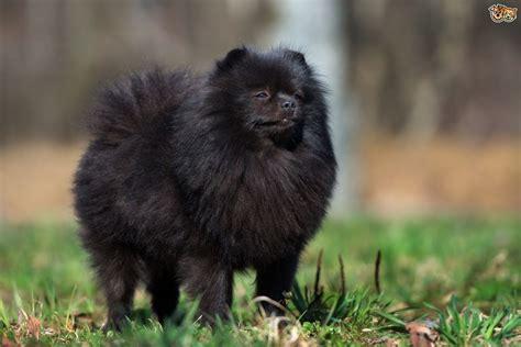 pomeranian dog breed information buying advice