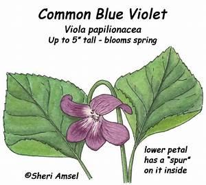 Blue Violet  Common