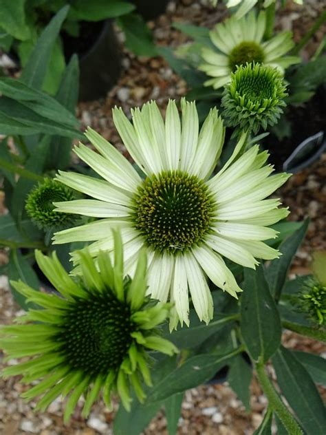 growing echinacea in pots 17 best images about cone flowers in containers on gardens compact and finches