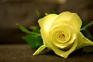 Gelbe Rose Bedeutung : valentinstag special blumen und ihre bedeutung ~ Whattoseeinmadrid.com Haus und Dekorationen