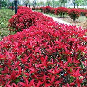 Photinia Red Robin : compare prices on photinia red robin online shopping buy ~ Michelbontemps.com Haus und Dekorationen