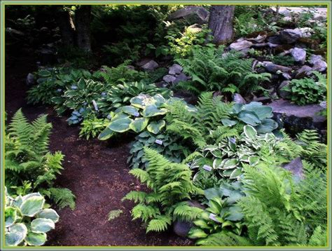 ferns for shade garden shade garden ferns and hostas gardens ideas vermont flower pre gardening pinterest