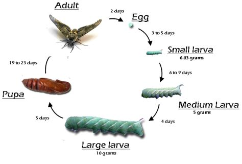 hornworms  sale farm raised hornworms  sale