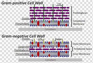 Cell Wall Bacterial Cell Structure Gram