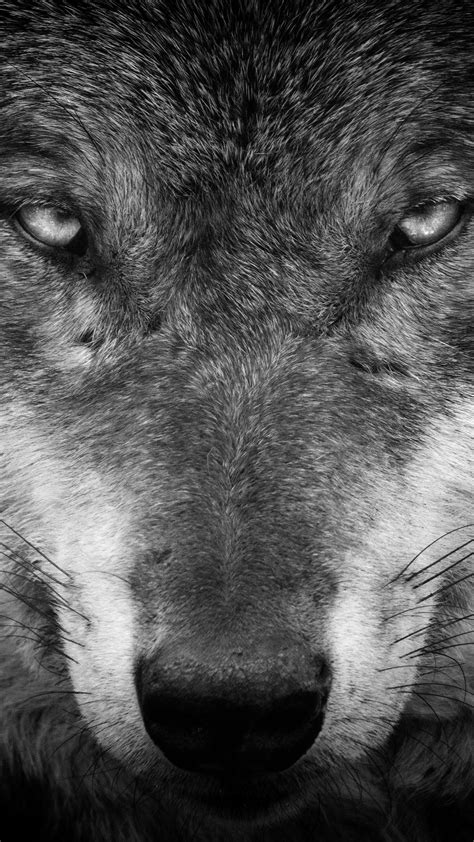 Iphone Black Wolf Wallpaper by Wolf Iphone Wallpapers Top Free Wolf Iphone Backgrounds