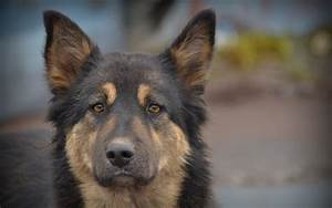 20 HD German Shepherd Dog Wallpapers - HDWallSource.com