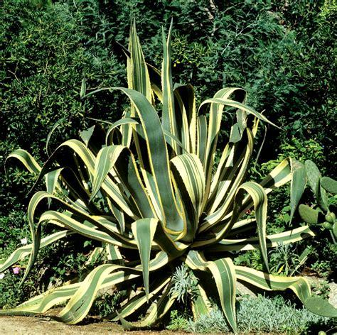 agave planter et cultiver ooreka