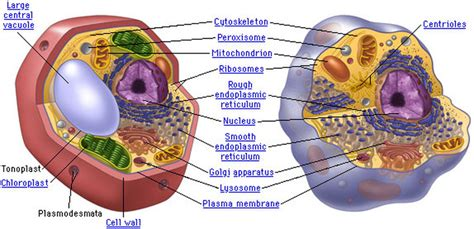 plant  animal cells cell organelles