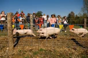 Honeysuckle Hill Farm Pigs Race