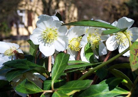 Was Blüht Im Dezember? :-) Schneerosen Und Winter-jasmin
