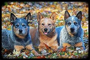 1000+ images about Dogs/Blue Heeler on Pinterest ...