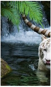 White Tiger Wallpapers (64+ background pictures)